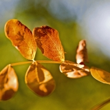 Siperianhernepensas (Caragana arborescens)