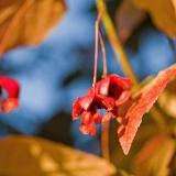 Sorvarinpensas (Euonymus macropterus)