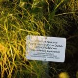 Maustefenkoli (Foeniculum vulgare)