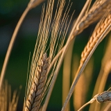 Polish wheat (Triticum polonicum)