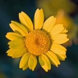 Keltasuvikakkara (Glebionis segetum)