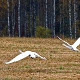 Whooper swans (Cygnus cygnus) taking off