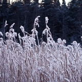 Frosty rushes