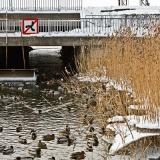 Sorsia Eläintarhanlahden ja Töölönladen kanavan sulassa