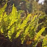 Kallioimarre (Polypodium vulgare)