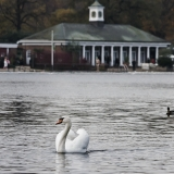 A swan in Hyde Park's Serpentine lake