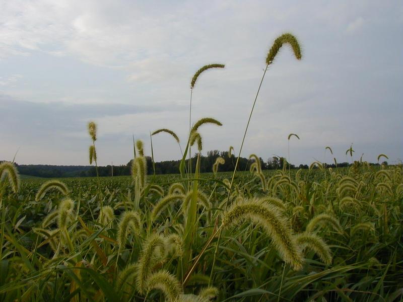Soijakasveja pellolla