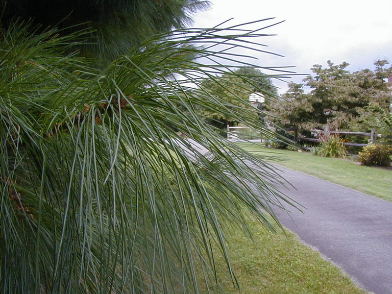 Neulasia puussa pihatien varrella