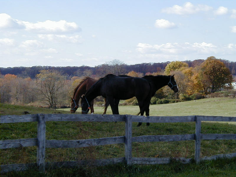 Horses at the grazing ground
