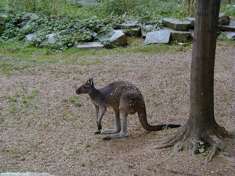 Kenguru Smithsonian National Zoological Parkissa