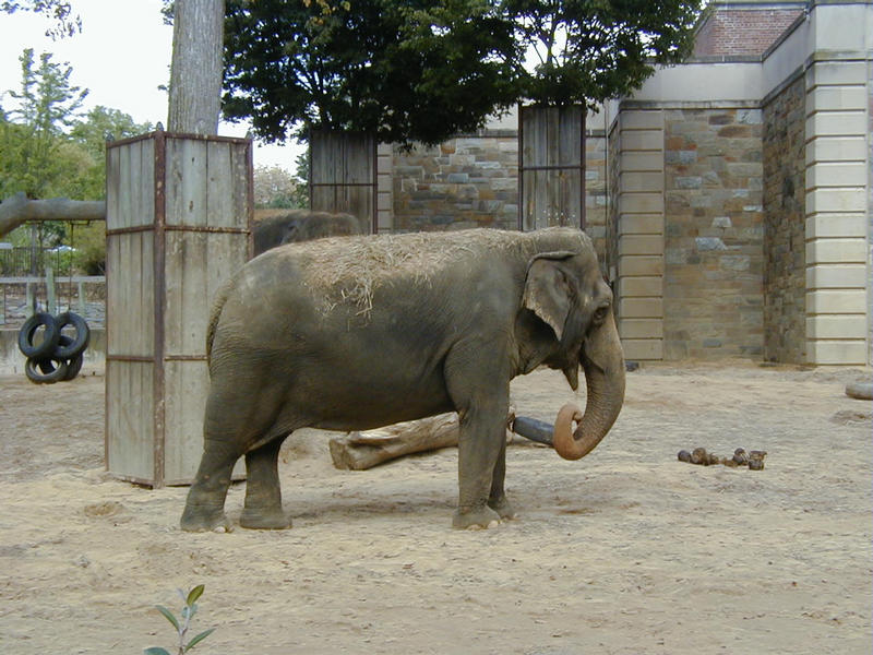 An elephant at the Smithsonian National Zoological Park