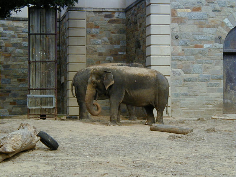 Elephants at the Smithsonian Zoological Park