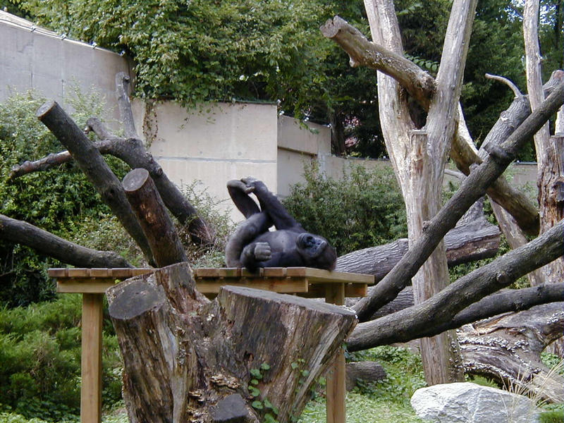 A gorilla relaxing himself at the Smithsonian National Zoological Park