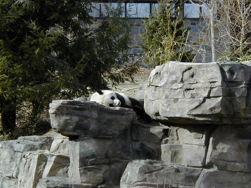 Pandakarhu Smithsonian National Zoological Parkissa
