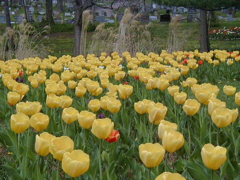 Tulips at a graveyard