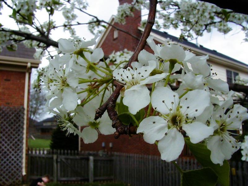 Koristepäärynäpuun kukkia