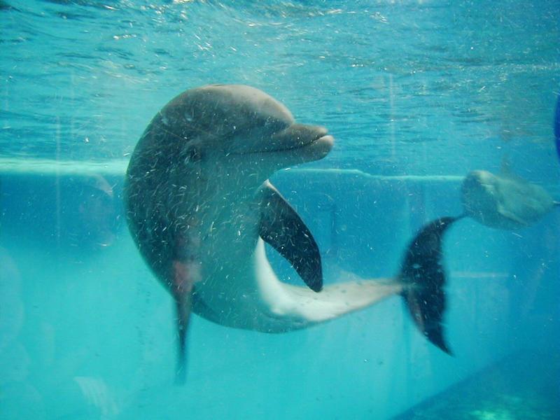 Delfiini Baltimoren akvaariossa
