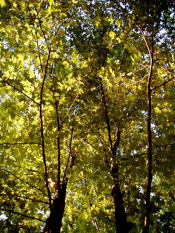 Lehtiä puussa