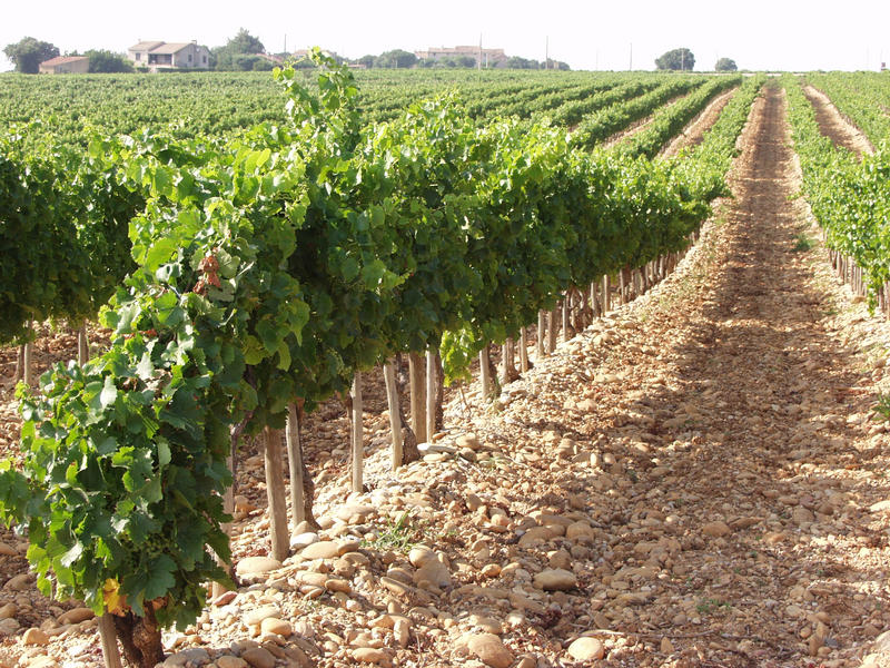 A wine field