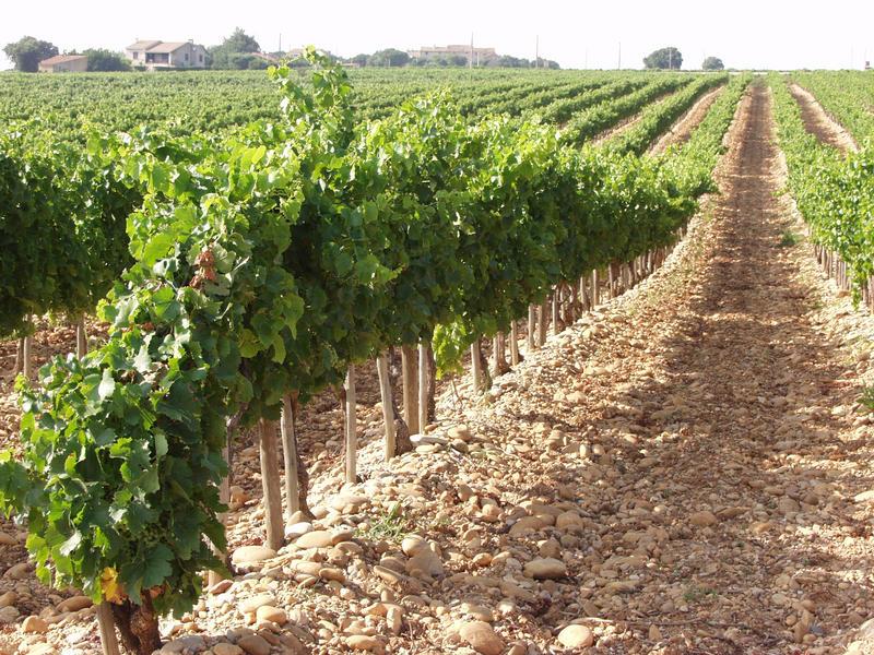 Viinipeltoa