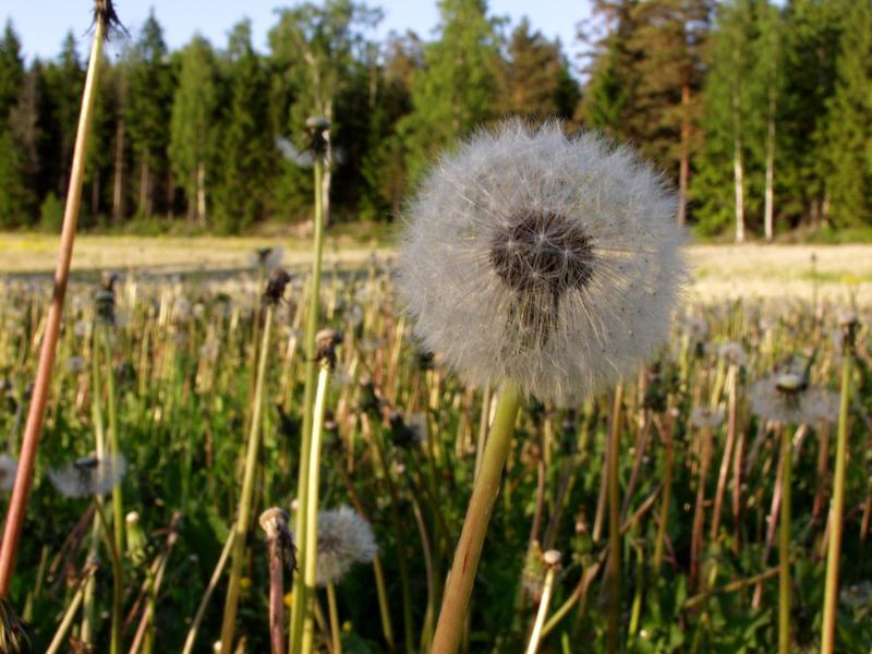 A dandelion in a field of dandelions