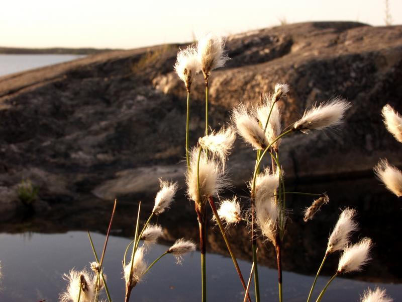 Tupasvillaa Porkkalan rantakallioilla