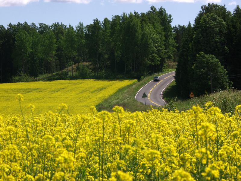 A road and a rape field