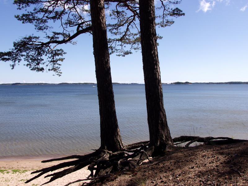 The seashore and pine trees