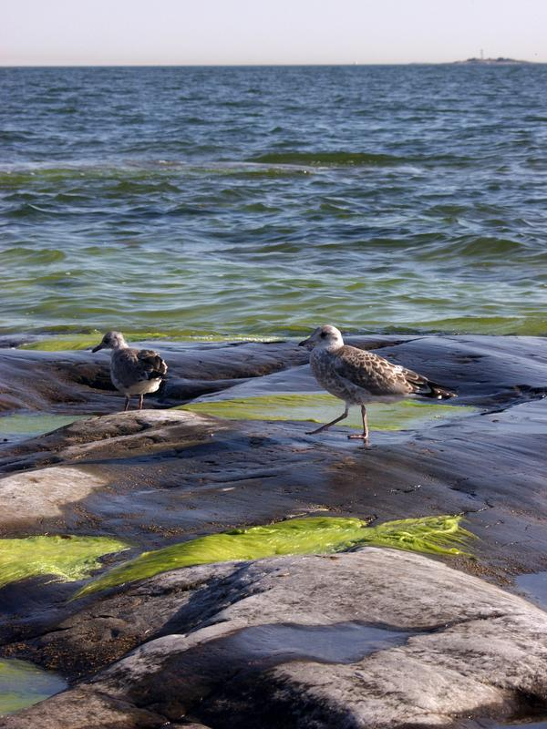 Offsprings of seagull on an algae shore