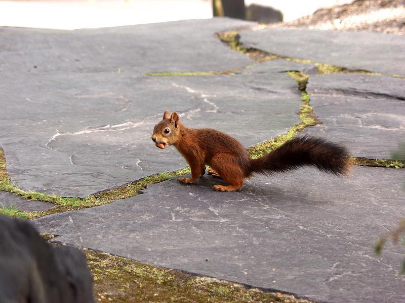 Orava Roihuvuoren Japanilaistyylisessä puutarhassa
