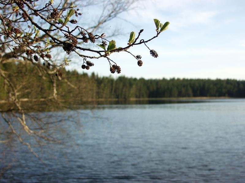 Acorns, lake Märkiö in the background