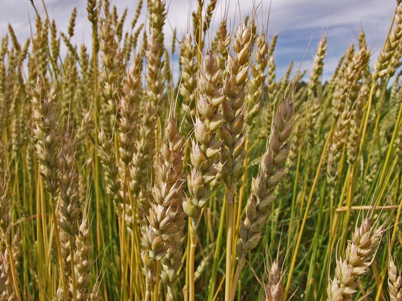 Wheat on a wheat field