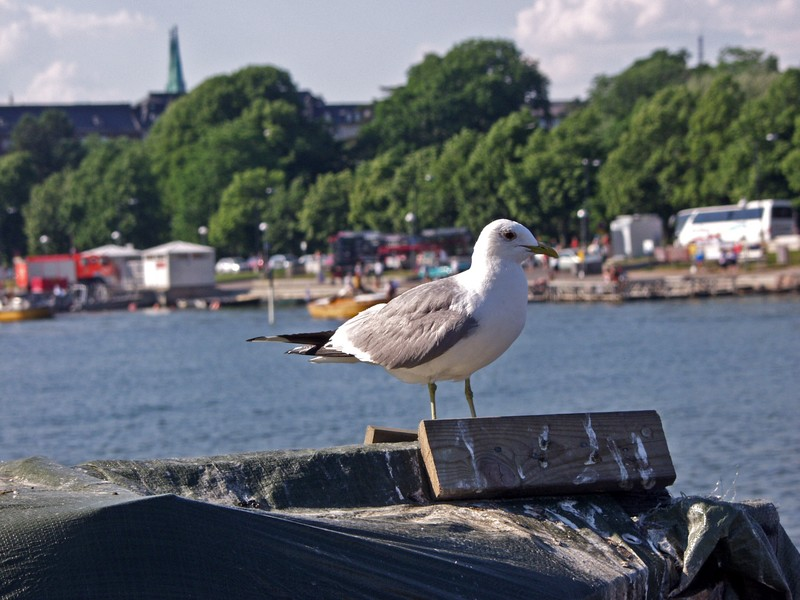 A common gull