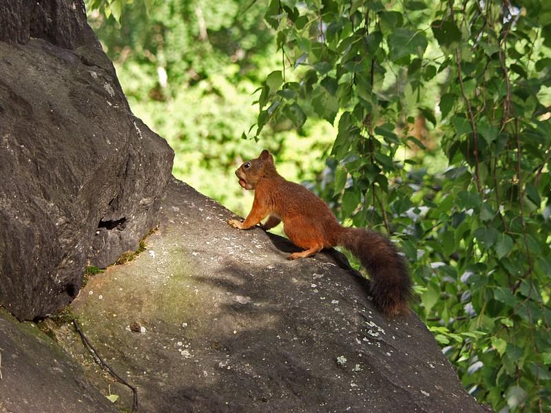Orava kiipeää kalliolla