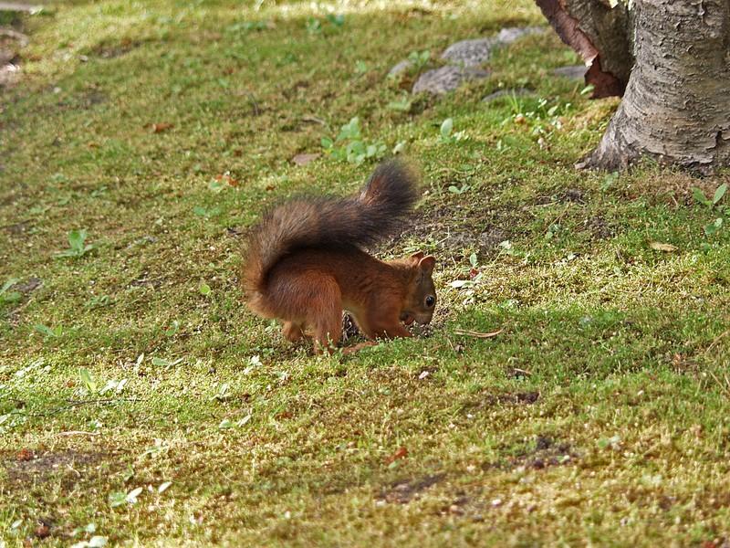 Orava piillottaa pähkinää