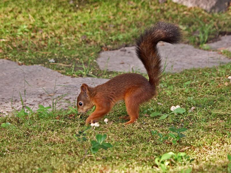 A squirrel hiding a nut