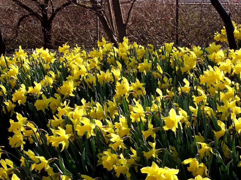 Narsisseja kasvitieteellisessä puutarhassa