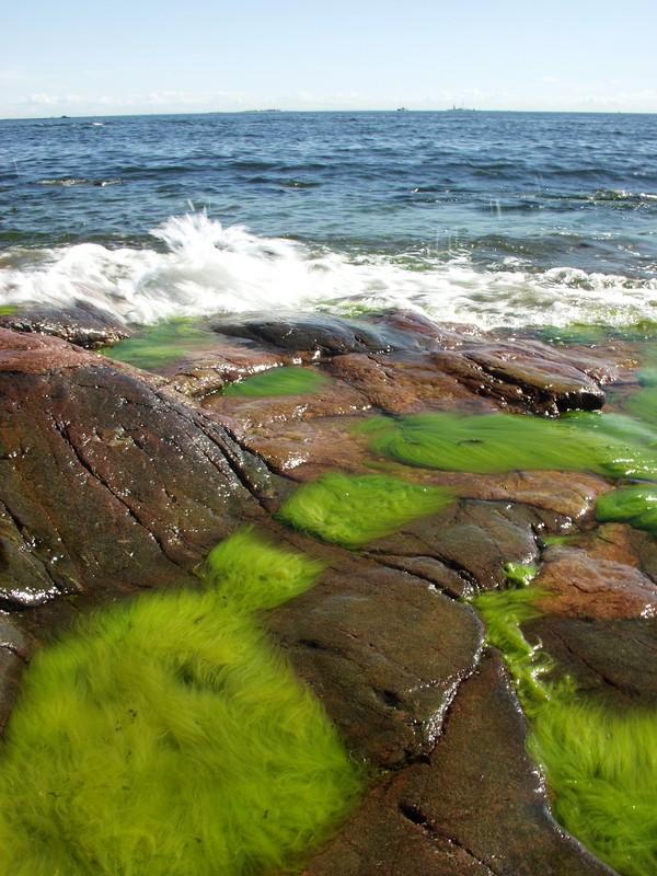 Algae on the shore rocks