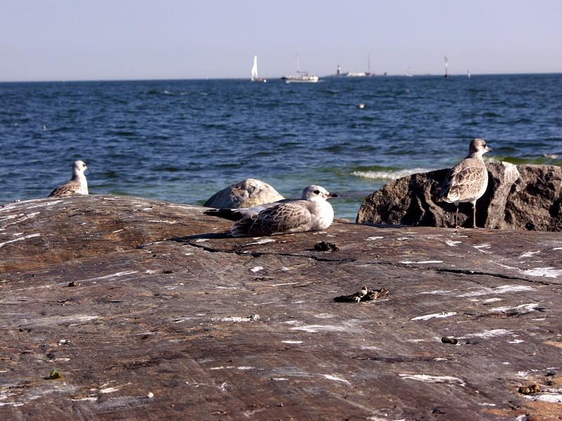Lokkeja rantakalliolla