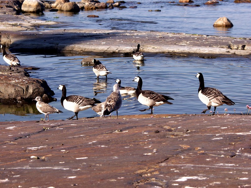 Barnacle geese on shore rocks