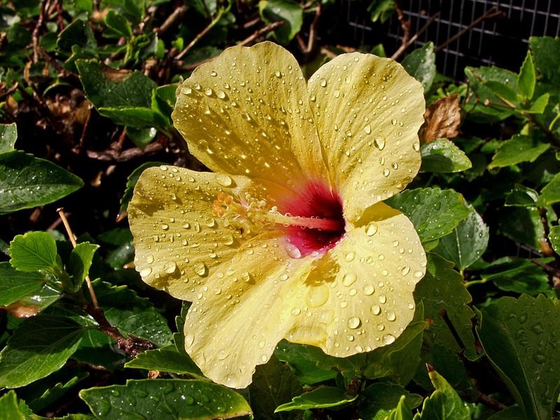 Kukka sateen jälkeen