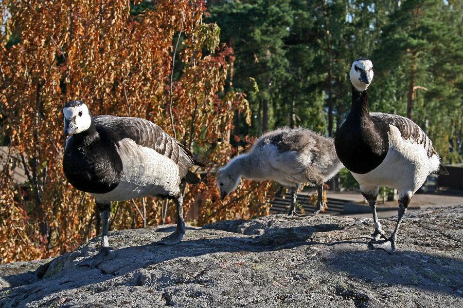 Barnacle geese in Korkeasaari