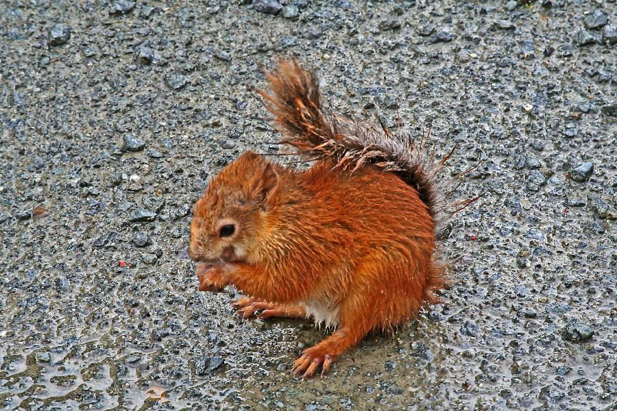 Orava (Sciurus vulgaris)