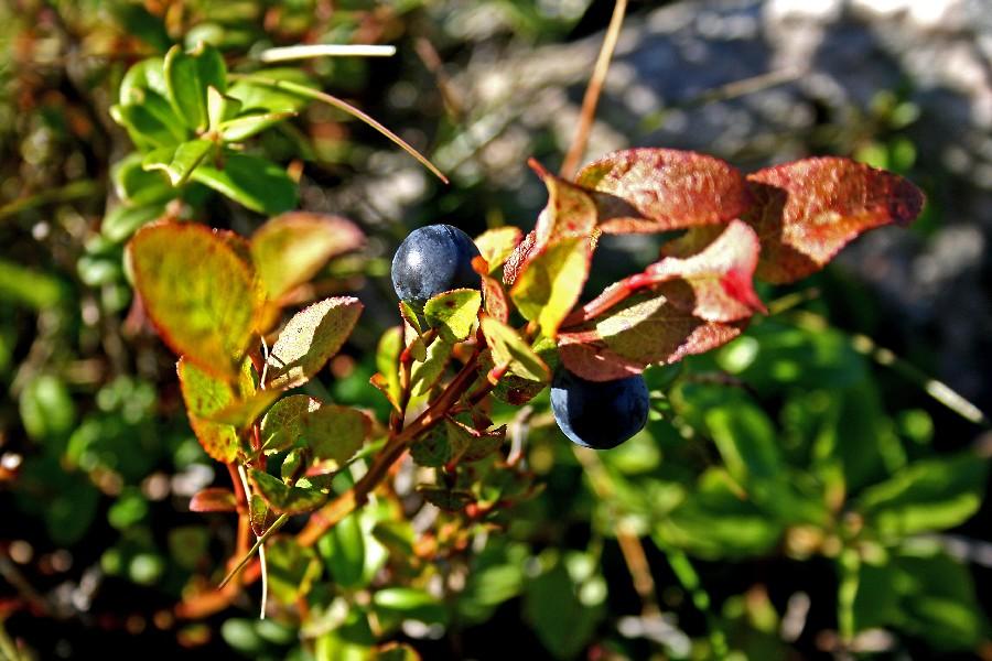 Mustikka (Vaccinium myrtillus)