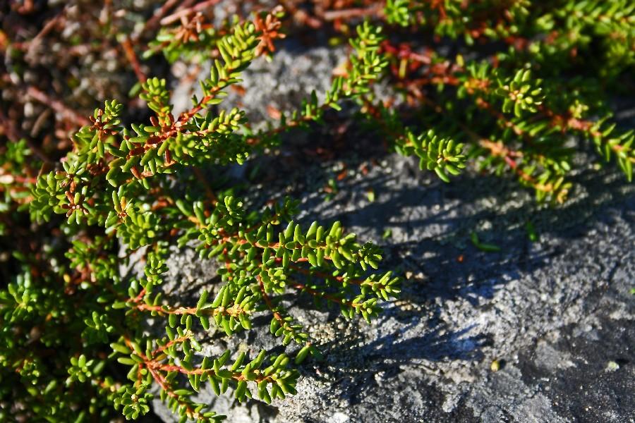 Variksenmarjan (Empetrum nigrum) oksia
