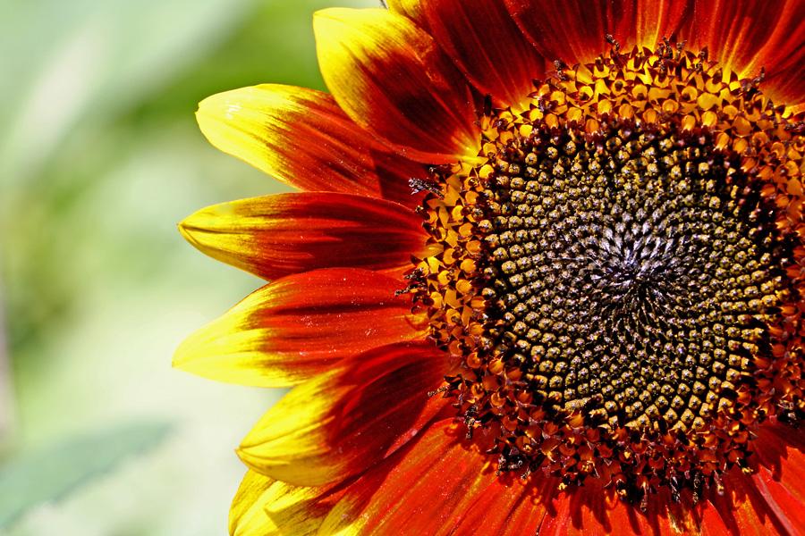 Auringonkukka (Helianthus annuus)