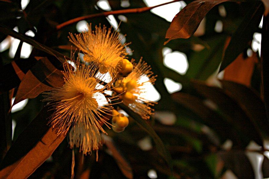 Jambos (Syzygium jambos)