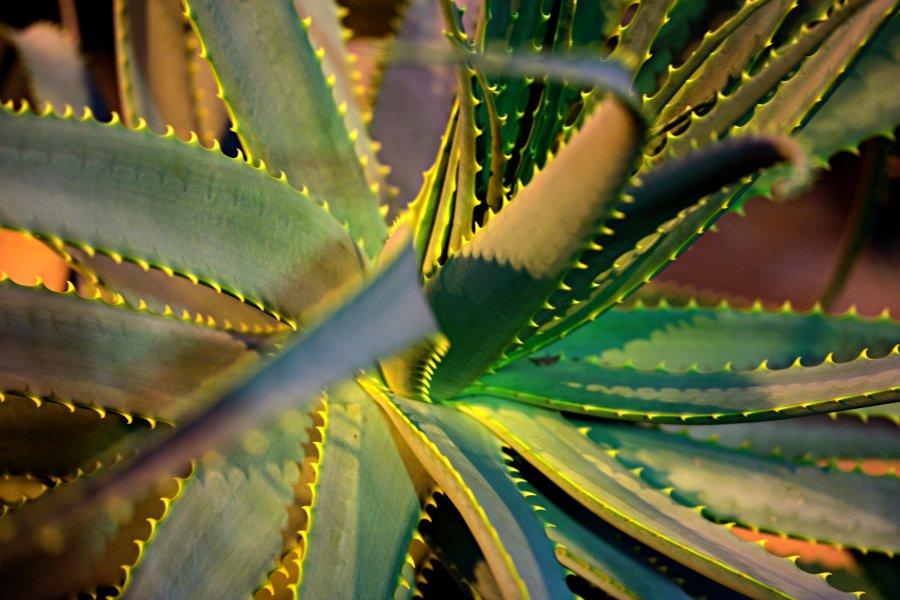 Kynsialoe (Aloe mitriformis)