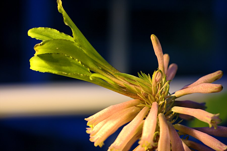 Sand lily (Veltheimia capensis)
