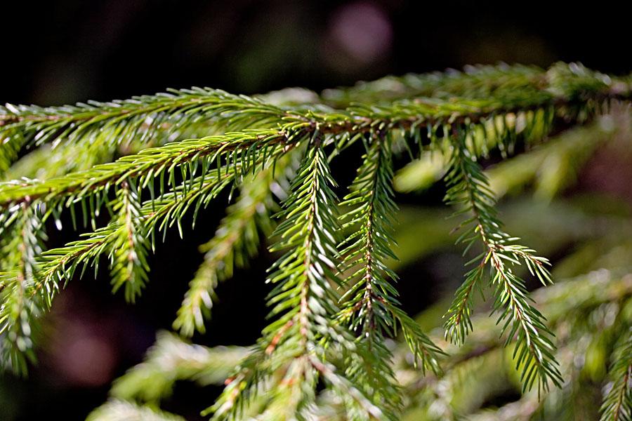 A fir twig